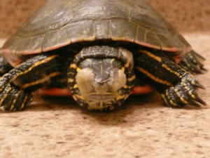 FAQs About Turtle Eye Disease/Health